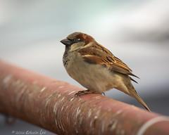 MH_051 ( Ed Lee) Tags: morning winter shadow cute bird nikon 7100 bokeh feather finch sparrow shade tele shelter teleconverter avian 200500 14x 56e