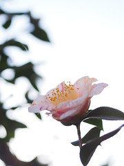 (Polotaro) Tags: flower nature pen garden olympus camellia     2    mzuikodigital45mmf18 epm2