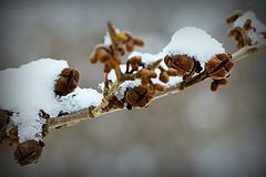 Zaubernuss (Karabelso) Tags: winter macro frucht garten baum weis nuss