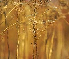 Frozen (signe_ulstrup) Tags: winter light plants brown snow abstract blur color ice lines sunshine fauna gold golden frozen intense stem colorful bokeh vibrant freezing stems simple luminance lowdepthoffield
