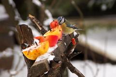 szemle / inspection (debreczeniemoke) Tags: winter bird garden bluetit paruscaeruleus kert blaumeise cyanistescaeruleus tl paridae msangebleue madr cinciarella kkcinke kkcinege cinegeflk piigoialbastru olympusem5