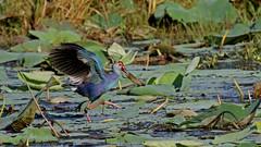 """Purple Swamphen - Sri Lanka """"Wise Birding"""" (jaytee27) Tags: purpleswamphen naturethroughthelens"""