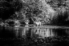 I found a new friend in the river (Ruben H. Pinilla) Tags: blackandwhite bw dog reflection monochrome river mono nikon candid d750 navarra udabe basaburua tamronsp2470mmf28divcusd nikond750