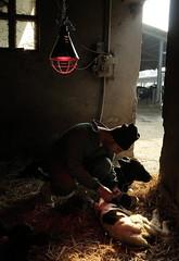 Take good care (GiòPhotos ( GioviTheVet )) Tags: cow campagna land calf stalla mucca stable veterinary vitello giovithevet veterinarifotografi giovanniiaione