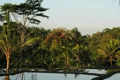 Im Bezirk Ubud - Reisfelder am Abend und irgendwo leuchtet ein Afrikanischer Tulpenbaum (Spathodea campanulata); Bali, Indonesien.jpg (15) (Chironius) Tags: trees bali tree indonesia wasser rboles boom arbres rbol albero bume arbre rvore baum trd indonesien aa   arecaceae arecales  wasserspiegel kokospalme palmenartige palmengewchse commeliniden
