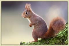Ecureuil roux (guiguid45) Tags: nature nikon squirrel animaux forêt écureuil sauvage loiret mammifères 500mmf4 d810