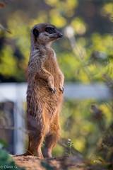_MG_2684.jpg (jeolpe) Tags: tiere tiergarten erdmnnchen nrnbergertiergarten landtiere 1homepage