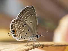 Plains Cupid (arian.suresh) Tags: india lepidoptera chennai tamilnadu arthropoda insecta lycaenidae papilionoidea neoptera polyommatinae chilades polyommatini chiladespandava heteroneura panorpida papilioniformes lenscanonefs1855mmf3556isstm otherextensiontube13mm ariansuresh butterflyanimalia