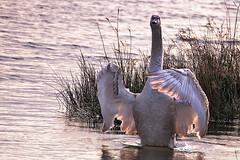 young swan (cees van gastel) Tags: nature birds swan vogels natuur zwaan tamron70300mm watervogels ceesvangastel canoneos550d