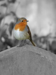 ColourSplash Robin Mill Road Cemetery Cambridge Mar 2016 (symonmreynolds) Tags: cambridge cemetery robin march coloursplash 2016 selectivecoloring millroad