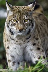 Serious lynx looking at me and approaching (Tambako the Jaguar) Tags: wild portrait face grass cat zoo switzerland nikon feline european close serious tierpark lynx d4 concentrated arthgoldau goldau