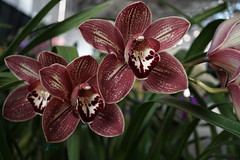 Award Winning Cymbidium (charlottes flowers) Tags: orchid cymbidium pacificorchidexpo