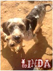Linda (santuariolacandela) Tags: españa spain linda animalsanctuary femaledog adoption mestiza apadrina hembra acogida adopción cabezalavaca amadrina santuariolacandela