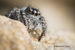 Big Black Eyes (Benji Pictures) Tags: macro canon spider 100mm jumpingspider salticidae 70d salticide