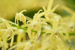 /Dendrobium speciosum (nobuflickr) Tags: orchid flower nature japan botanical kyoto    dendrobiumspeciosum the garden    20160206dsc00756