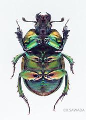 Phelotrupes(Chromogeotrupes) auratus auratus (Motschulsky,1857)15 (kenta_sawada6469) Tags: nature colors insect japanese metallic beetle insects beetles specimen jewel coleoptera dungbeetle scarabaeoidea