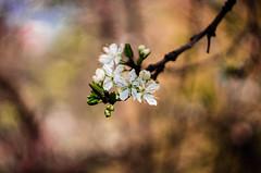 IMG_9481 (Nikan Likan) Tags: 2 paris flower by vintage lens prime spring mechanical bokeh f works mm manual 13 1962 blades swirly manufactured ussr | 58 2016 rusian krasnogorsk helios44 kmz m3942