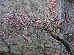 IMG_6503.jpg (Elise Swart) Tags: flowers trees france flower tree fleur fleurs bomen blossom peach boom arbres flowering peaches frankrijk fr arbre bloesem peachtree bloemen lafrance bloem bloei perzik perziken ldf bloeien perzikboom