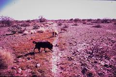 Lomo LC-A+, Fuji Sensia II (K e v i n) Tags: arizona film dogs analog 35mm outside lucy lomography desert hiking az lomolca scan molly xavi sonorandesert fujisensiaii100 tresperros blackcanyontrail epsonv500 blackcanyonnationalrecreationtrail