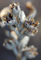 Anigozanthos manglesii ssp manglesii, Kings Park, Perth, WA, 29/03/16 (Russell Cumming) Tags: plant perth kingspark westernaustralia anigozanthos haemodoraceae anigozanthosmanglesii anigozanthosmanglesiimanglesii