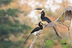 Malabar pied hornbill (harshithjv) Tags: bird canon birding pied karnataka tamron hornbill westernghats dandeli bigron 600d coronatus uttarakannada anthracoceros