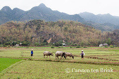 Landscape with water buffalo (10b travelling) Tags: animal landscape asian buffalo asia asien southeastasia vietnamese culture vietnam thai fields asie agriculture tribe northern ricefield ethnic waterbuffalo indochine indochina 2015 maichau ethnicgroup whitethai tenbrink carstentenbrink iptcbasic 10btravelling