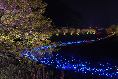 20160305-DSC_2294.jpg (d3_plus) Tags: street sea sky plant flower nature japan spring nikon scenery nightshot cloudy bloom  cherryblossom  sakura lightup nightview 28105mmf3545d nikkor    shizuoka    izu   28105   rapeblossom    28105mm  zoomlense  minamiizu    kawazuzakura    28105mmf3545 d700 281053545  nikond700 shimokamo aiafzoomnikkor28105mmf3545d nightcherryblossom 28105mmf3545af    southcherryblossomandrapeblossomfestival aiafnikkor28105mmf3545d shootingstarsandsakurainnight sakurainnight