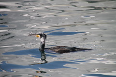 Cormorant and water reflection, Marseille (Chatsy POP.H) Tags: france marseille cormorant waterreflection