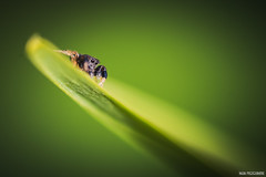 Hypnose solaire (Naska Photographie) Tags: macro nature animal spider photo photographie natur micro vegetal microcosmos araigne proxy macrophoto photographe macrophotographie proxyphoto naska saltique