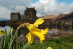daff and castleDSC_8209_4DSC_8209 (m.c.g.o) Tags: castle scotland daffodil eilean donan