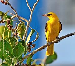 Indian Golden Oriole (venugopal bsnl) Tags: googleimages goldenoriole serilingampally venugopalbsnl