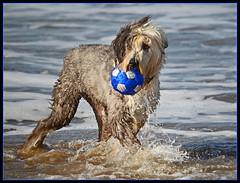 La pelota azul (Totugj) Tags: argentina nikon perro villa perros nikkor mascota mascotas playas pelota gesell provinciadebuenosaires 55300mm d5100