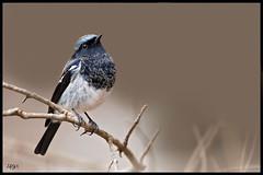 Blue-Capped Redstart (Arshad Aashraf) Tags: pakistan bird ilovenature bokeh outdoor wildlifephotography islamabd birdsofpakistan nikkor600mmf4 wildlifephotographey birdslover birdsphotography ilovewildlife nikond4s arshadashraf feathersdetails
