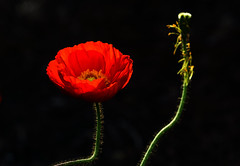 Present and future (Irina1010) Tags: flowers light red macro nature beautiful canon spring vibrant stages poppy poppypod