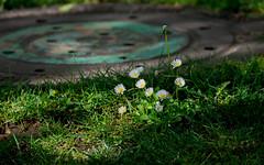 Sunny Dasie. (Omygodtom) Tags: park street flower nature nikon shade wildflower dazy d7100 nikon70300mmvrlens urbunnature