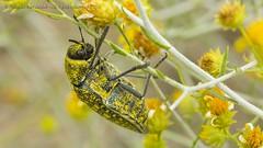 319A4146 Sulphurous jewel beetle - Julodis euphratica, UAE (Priscilla van Andel (Uploading database)) Tags: uae buprestidae julodis julodiseuphratica sulphurousjewelbeetle