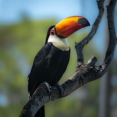 Toucan (sbess) Tags: color bird nature toucan beak