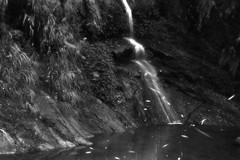 CFXT0945e2 (Calvine Wu) Tags: bw night insect natural fujifilm chiayi firefly  alishan   ruili  xf35mm