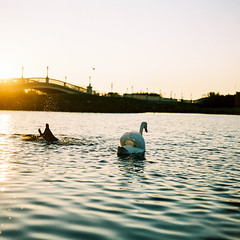 Swan life, Southport (iantaylorphoto) Tags: 6x6 mamiya film kodak medium format portra c330