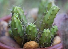 Echinocereus pentalophus (alloe.) Tags: echinocereus