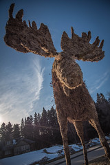 That moose (carsonsamson) Tags: tourism moss moose manitoba clearlake ridingmountain