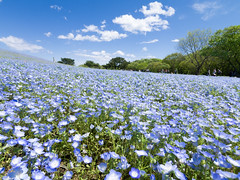 Garden Hill (H.H. Mahal Alysheba) Tags: blue sky plants flower nature japan garden lumix hill wide nemophila lumixg 714mmf40 gx7