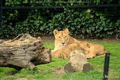 Aziatische leeuw - Panthera leo persica - Asiatic lion (MrTDiddy) Tags: baby cat mammal big kat feline leo lion bigcat ravi babys planckendael rani asiatic grote raman leeuw dierenpark panthera welpen roofdier persica zoogdier aziatische grotekat dierenparkplanckendael