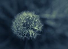 Fragility DSC_0784 EXPLORED (Katrina Wright) Tags: bw flower macro monochrome spring bokeh nb dandelion