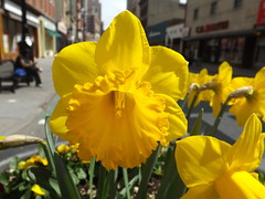 Colorful Spring Flowers,Newark Avenue, Jersey City, New Jersey (lensepix) Tags: flowers flower yellow newjersey spring jerseycity colorful springflowers yellowflowers colorfulflowers newarkavenue