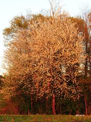 ciliegio in fiore (gbistoletti) Tags: primavera italia tramonti fiori lombardia boschi provinciadivarese sumirago