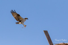 Male Osprey tosses grass toward its nest - Sequence - 1 of 19