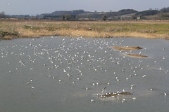 Black-headed Gulls (nataliemarchant) Tags: birds yorkshire blackheadedgull yorkshirewildlifetrust northcavewetlands