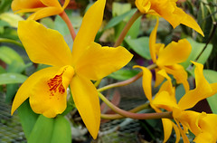 Yellow Orchid (hpaich) Tags: park plant orchid flower nature beauty yellow newjersey nj greenhouse jersey middletown deepcut deepcutpark