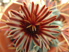 Colori di Primavera (Paolo Bonassin) Tags: flowers cactus flower cactaceae ferocactus succulente cactacee